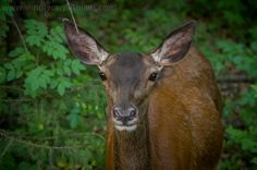 A doe (hind) in the Tatra Mountains #Poland #NationalPark #wildanimals #deer