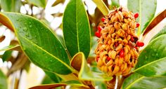 Resultado de imagem para magnolia fruto
