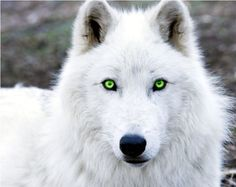 white wolf with green eyes - Google Search