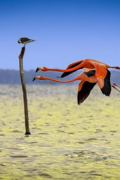 To the left: Flamingos in flight. Spectacular shot!