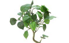 造花ドットコムの光触媒人工観葉植物 32540「【本物そっくりの幹】 ミニ フィカス・ベンジャミン 45cm+ブリキポット(IKEA)」(フェイクグリーン)