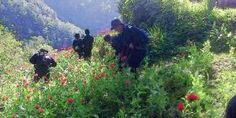 Más de 6 mil metros cuadrados de plantaciones de amapola fueron destruidos en la Sierra Sur