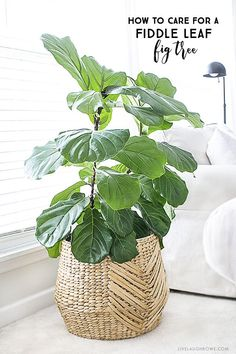 The fiddle leaf fig tree is an ideal indoor plant that could be a low upkeep pla. , The fiddle leaf fig tree is an ideal indoor plant that could be a low upkeep pla. The fiddle leaf fig tree is an ideal indoor plant that could be a . Cool Plants, Potted Plants, Plant Pots, Large Indoor Plants, Baskets For Plants, Fig Plant Indoor, Indoor Plant Decor, Ikea Plants, Zz Plant