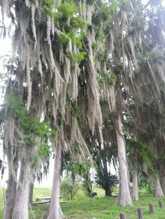 Cypress trees loaded with Spanish moss