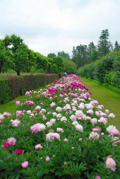 Oh how I love pink and pinkish white peony beds! gorgeous country garden with hedge and evergreen trees. #DdO:) - https://www.pinterest.com/DianaDeeOsborne/hope-and-dreams/ - FLOWERS BEYOND EXPECTED. Pinned via Gretchen B's GARDEN #Pinterest board.