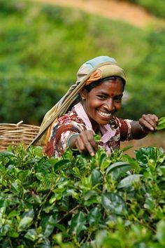 Woman picking tea leaves at a plantation near Nuwara Eliya, Sri Lanka