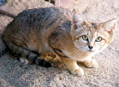 Sand Cat - Facts, Diet, Pictures, Adaptations and Predators Cool Cats, Types Of Wild Cats, Gatos Cool, Small Wild Cats, Sand Cat, Wild Dogs, Cat Facts, Beautiful Cats, Animals