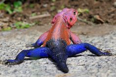 Agama Lizard, via Flickr