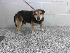 This DOG-ID#A469575  I am a male, black and brown Chihuahua - Smooth Coated mix. Shelter staff think I am about 7 years old. I have been at the shelter since Jul 22, 2014.  If you are my owner, you must physically come to the shelter to claim me. We are located at 333 Chandler Place, San Bernardino, CA 92408. Our Lost & Found hours are Tuesday-Saturday 10:00 am to 5 pm.