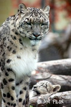 ˚Snow Leopard with cub