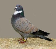 Pigeon Pictures, Bird Pictures, Horse Pictures, Animal Pictures, Cute Pigeon, Pigeon Bird, Tumbler Pigeons, Pigeon Loft Design, Pigeon Breeds