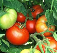 Growing Tomatoes & Tomato Growing Tips    A complete guide on how to grow tomatoes that are perfect and flavorful!