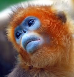 Golden snub-nosed monkeys are found in southern and central China. The largest populations of primates live in the National Reserve Volun (Sichuan). The monkeys live in the mountains at a height from a half to more than three thousand meters.