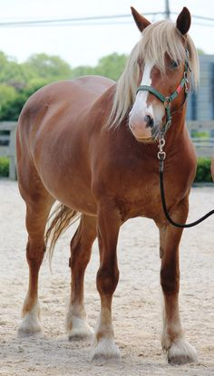 Athena- 14 y.o. 16.3hh Belgian Mare- Companion Only