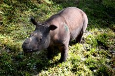Malaysia may loan Indonesia rhinos to save species from extinction