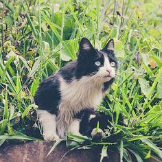 Frajola (Into the Wild   ) :: Projeto Xerimbabo  #petphotography #fotografiapet #pet #animal #animaux #bicho #amobicho #gato #gatto #chat #cat #catlovers #caterday #instacat #meow #mãedegato #canon #135mm #Xerimbaboproject #green #meugatowhiskas