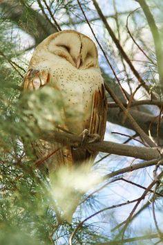 Photograph of Barn Owl ~ SLEEPING BUT LOOKS LIKE A SMILE ~