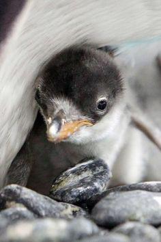 A gentoo penguin chick sticks close to mum.