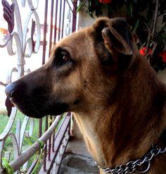 Combai / Indian Bear hound Dog / Kombai Hound Dog, Dogs Of The World, Dog Love, Dog Breeds, Pets, Funny, Animals, Doggies, Window