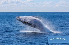 Margaret River Region Whale Watching…..Closer than you think! Come visit us and Enjoy the Luxury Stay at Saudade and Explore the Amazing Whale Watching season runs from September to mid-December... For Booking visit www.saudade.net.au #margaretriverstay #whalewatchingWA #Saudade #LuxuryAccommodation Whale Watching Season, Whale Watching Tours, Whale Pictures, San Francisco Tours, San Diego, Gray Whale, Humpback Whale, Travel Tours, Pics Art