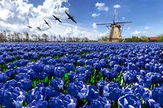 Geese flying over endless blue tulip farm Stock Image