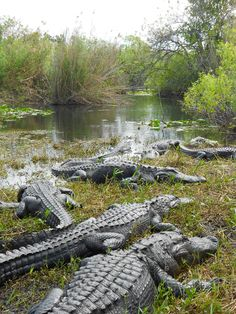Napping alligators in the Everglades