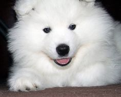 samoyed dog #animal #white #snow
