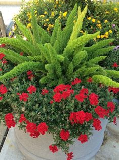 Container Gardening Inspirations Worthy of Pinning Foxtail fern the green is so striking against the red verbena. The post Container Gardening Inspirations Worthy of Pinning appeared first on Ideas Flowers. Container Flowers, Container Plants, Container Gardening, Succulent Containers, Asparagus Fern, Gardening Zones, Gardening Tips, Vegetable Gardening, Flower Gardening
