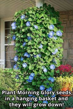 לפופית Plant Morning Glory seeds in a hanging basket and they will grow down! Morning glory seeds are protected by a tough coat. Soak the seeds in water for 12 to 24 hours before sowing or file away or nick off a small piece of the coat before plantin Morning Glory Flowers, Blue Morning Glory, Morning Glory Plant, Container Plants, Container Gardening, Container Flowers, Plant Containers, Outdoor Plants, Outdoor Gardens