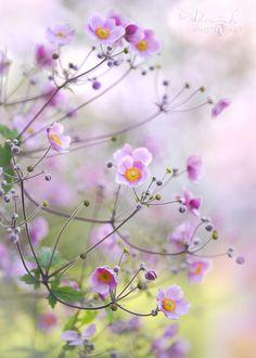 Garden Poetry - Chinese Anemone by Adrian Scheel - Photo 169107337 - Pretty Flowers, Purple Flowers, Spring Flowers, Flower Poem, Flower Art, Flower Background Wallpaper, Flower Backgrounds, Flowers Nature, Wild Flowers