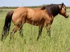 Joe Hancock and Driftwood bred buckskin stallion