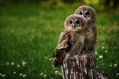 Tweeling uil op een boomstronk