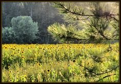Sunflowers (Laurel, Armstrong, B.C.)