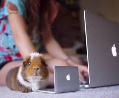 Guinea pig at computer                                                                                                                                                                                 More