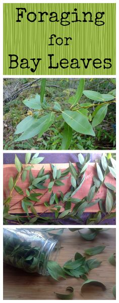 Foraging for Bay Leaves ~ California Bay tree, also called Oregon Myrtle. Dry the leaves and add to your soups and stews! www.growforagecookferment.com
