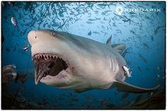 uwphotographers: UWP: SAM CAHIR Bull Shark