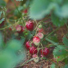 Forest Cottage, Potager Garden, Garden Path, Red Houses, Strawberry Farm, Beautiful Fruits, Wild Strawberries, Summer Berries, Wild Ones