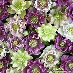 Lenten Rose Double Queen, Helleborus orientalis, Lenten Rose