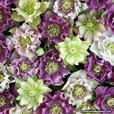Lenten Rose Double Queen, Helleborus orientalis, Lenten Rose
