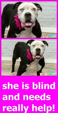 CRYSTAL - ID#A1717147 Crystal is blind in right eye but can see shadows from the left I am an unaltered female, black brindle and white American Bulldog. The shelter staff think I am about 3 years old I have been at the shelter since Aug 07, 2015. Miami Dade https://www.facebook.com/urgentdogsofmiami/photos/pb.191859757515102.-2207520000.1439245694./1026664350701301/?type=3&theater