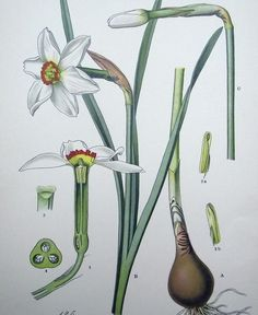 1905 - NARCISSUS - Chromolithography by Zeyschwitz. Botany.  #botanical #engravings #prints #lithographs #handcoloured #flowers #plants #fruits #berries #vegetables #herbs #mushrooms #Antique Print #Antique Engraving #Original Print #Original Engraving #Alte Stiche #Gravure #Stampa Antica #Ornamental #Decorative #Original #Victorian #Antique Etching #Original Etching