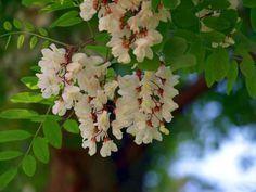 Akácvirág gyógyító ereje - Fotó: panoramio.com Natural Cosmetics, Jaba, Natural Healing, Healthy Drinks, Essential Oils, Health Fitness, Food And Drink, Fruit, Flowers