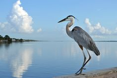 Great Blue Heron doing some fishing on the Eau Gallie Pier in Melbourne Florida