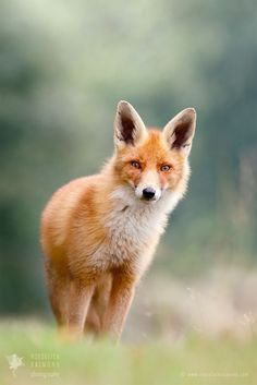 Gone, but not Forgotten - Red Fox - One of a kind, still in my thoughts
