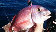 Como pescar pargos #pesca #fishing #sportfishing