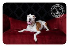 Tye - April 18 - Rescued Pitbull