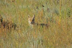 Coyote ©Steve Frye. Wild Bird Company - Boulder, CO, Saturday Morning Bird Walk in Boulder County - August 22, 2015