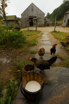 CHICKENS AND BARN