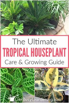 Do you want to fill your house with a piece of the tropics? It may surprise you, but some of the best and easiest houseplants are tropical. Learn how to care for these beautiful plants indoors with this comprehensive guide to light requirements, watering, fertilizer, and so much more. Get all the information you need on choosing and growing the plants that will do the best in your home, including tips on getting rid of pests, and troubleshooting drooping or yellow leaves, and weak growth.