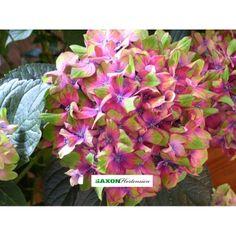 Saxon® `Schloss Wackerbarth` Bauernhortensie Hydrangea macrophylla  Saxon®`Schloss Wackerbarth` zeichnet sich durch ihre auffällige 3-farbige Blüte aus, die zwischen rot, grün und blau variiert. Die Pflanze erreicht eine Höhe von ca. 1 m und ist bis - 15°C winterhart. Eine sehr schöne Ergänzung für einen schattigen Platz im Garten oder auf der Terrasse.